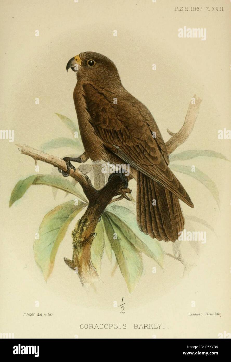 N/A  Coracopsis barklyi (=Coracopsis nigra barklyi)   1867