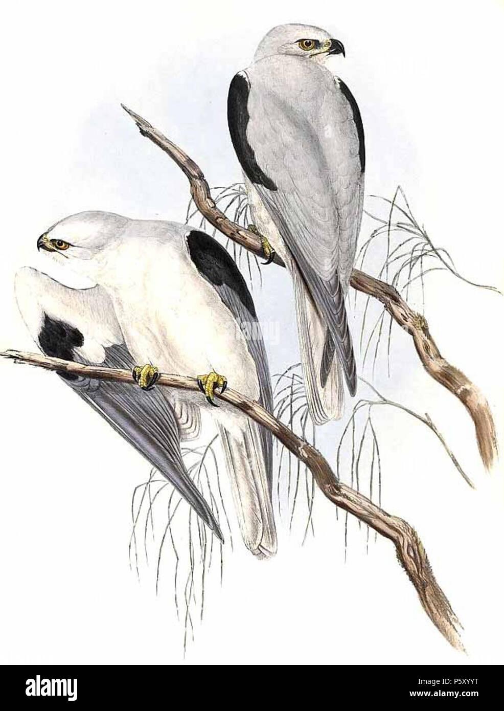 N/A. English: Elanus axillaris (Black-shouldered Kite) Français ...