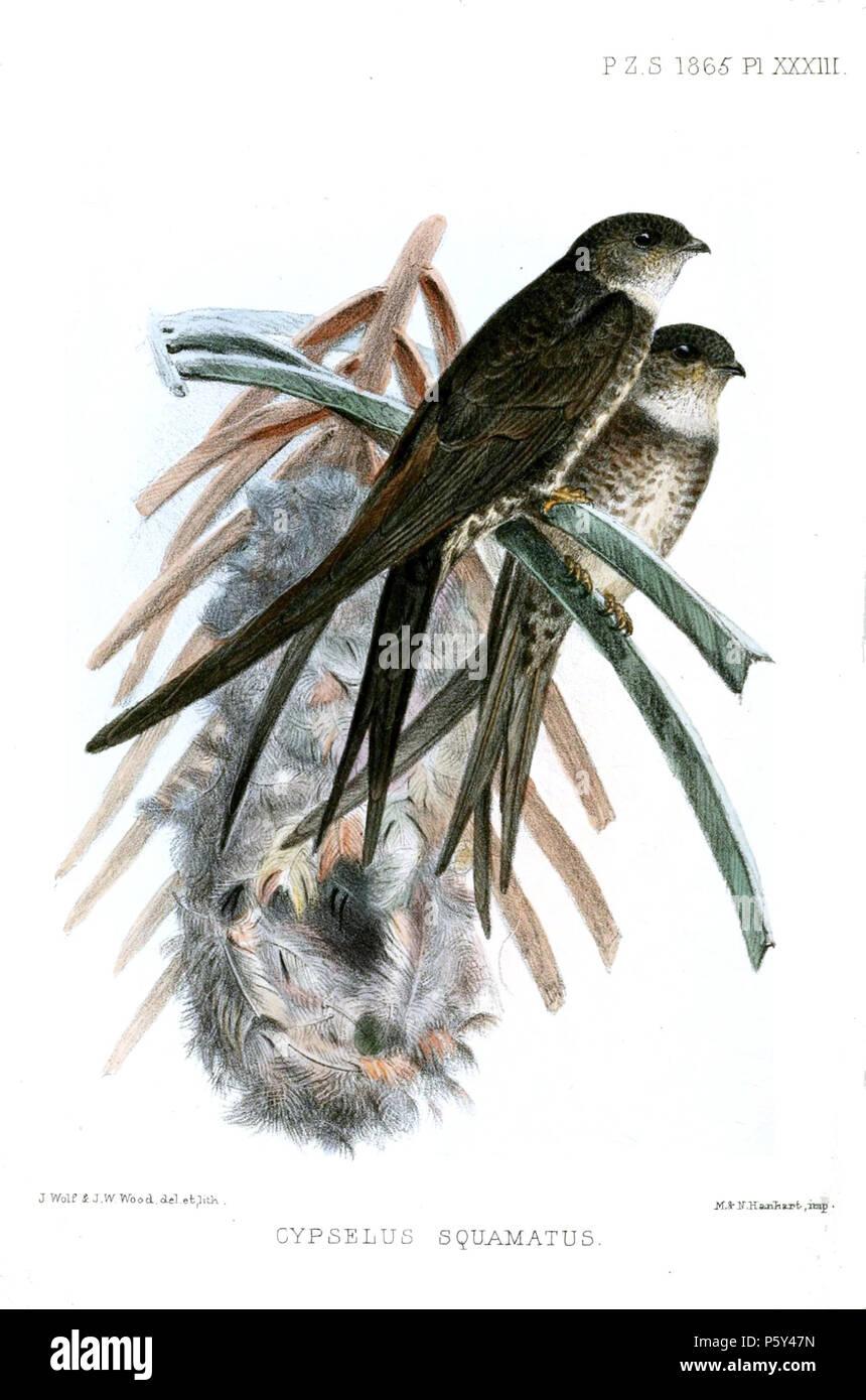 N/A  Cypselus squamatus = Tachornis squamata squamata