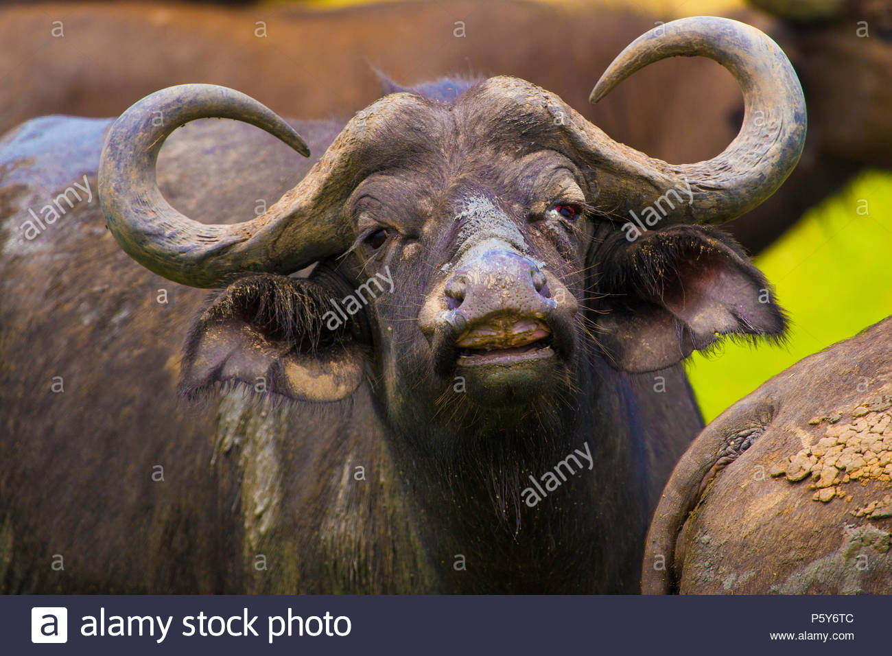African Buffalo in Murchison Falls National Park - Stock Image