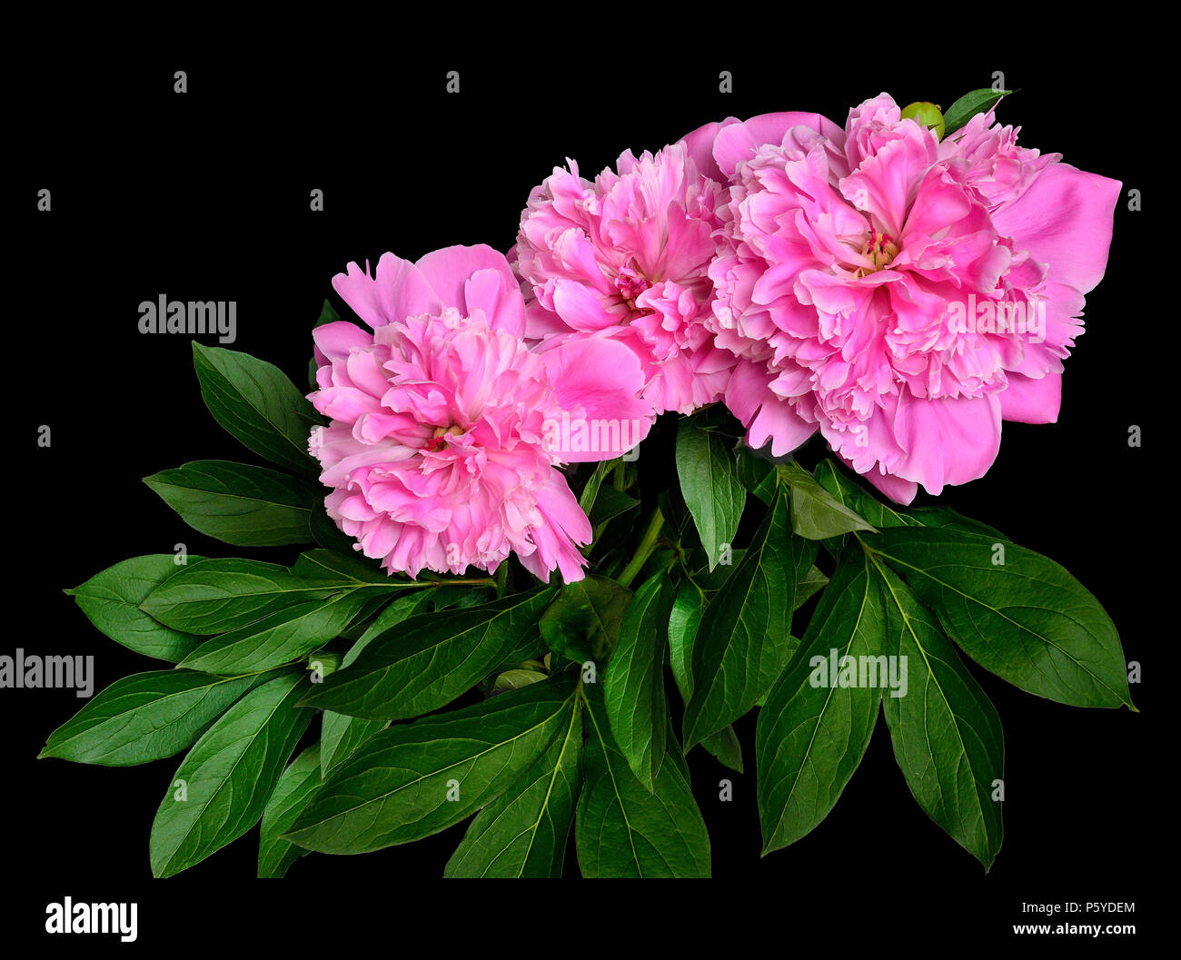 Garden flowers on black background stock photos garden flowers on bouquet of beautiful flowers pink luxuriant peonies with leaves isolated on a black background spring izmirmasajfo