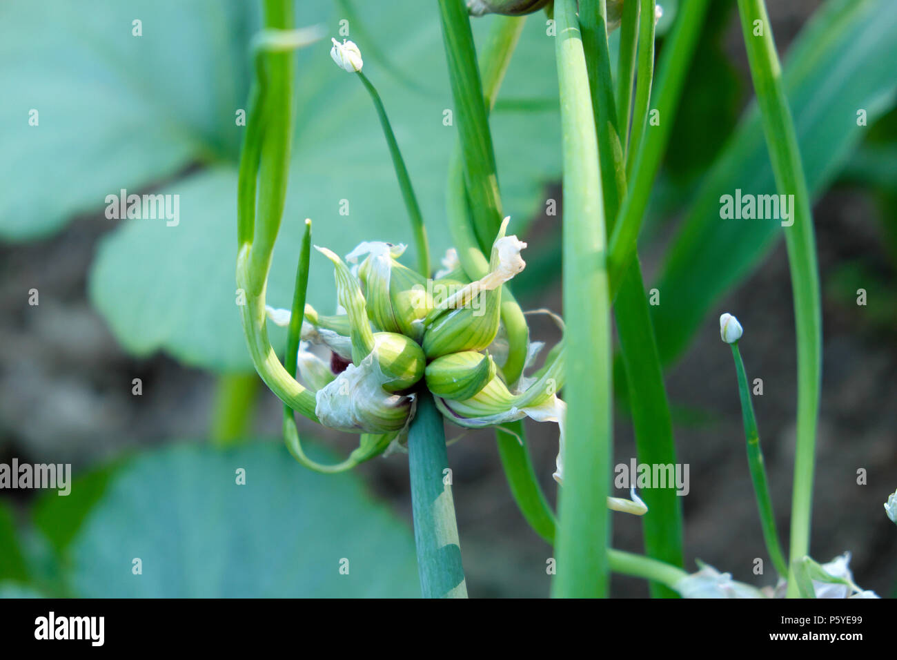 Tree onions (Allium × proliferum,) or  growing on a plant in a country garden in June summer Wales UK  KATHY DEWITT Stock Photo