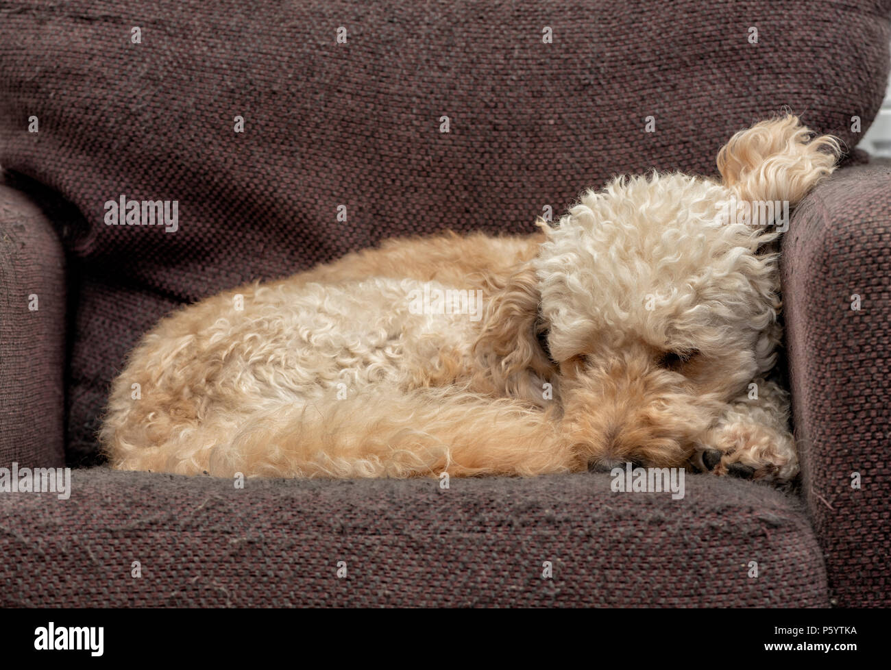 Labradoodle curled up asleep on an armchair - Stock Image