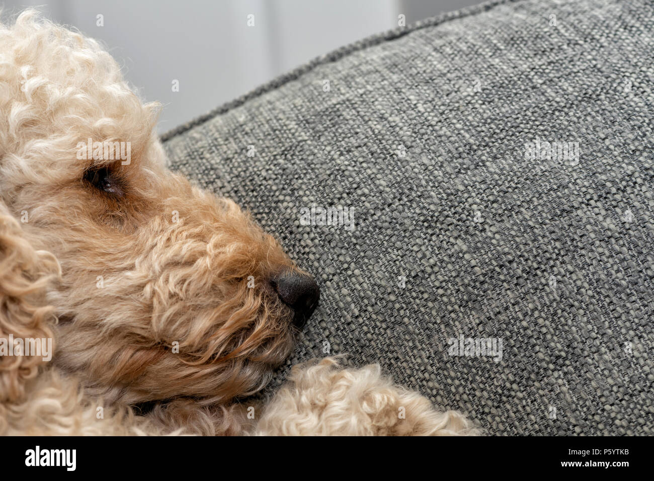 Beige coloured dog asleep with it's head on a cushion - Stock Image