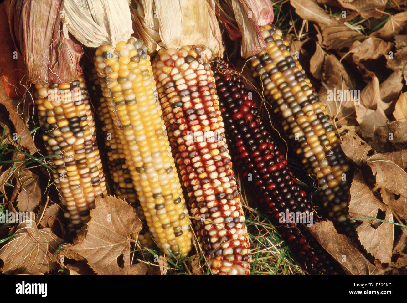 INDIAN CORN OF THE AMERICAS 30 Varieties of Maize Food Grain WALL POSTER