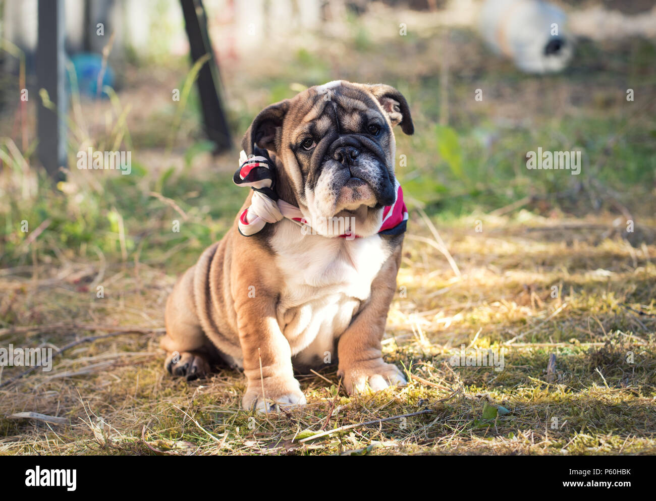 Red And Blac English Bulldog Puppy 3 Months Old Sitting On The Grass And Wearing Red And Black Scarf Stock Photo Alamy