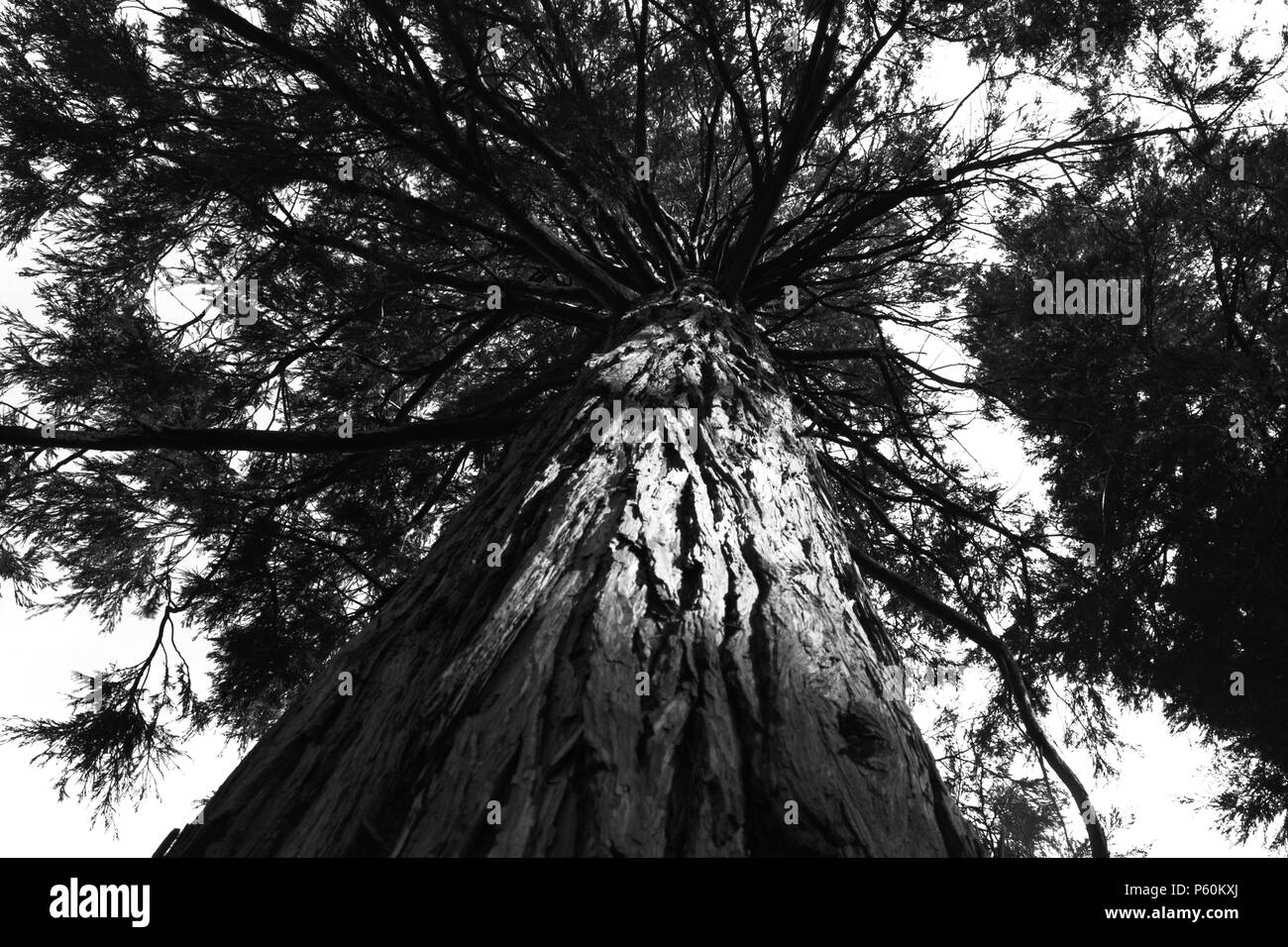 A view up the side of a pine tree to the canopy above, in black & white. - Stock Image