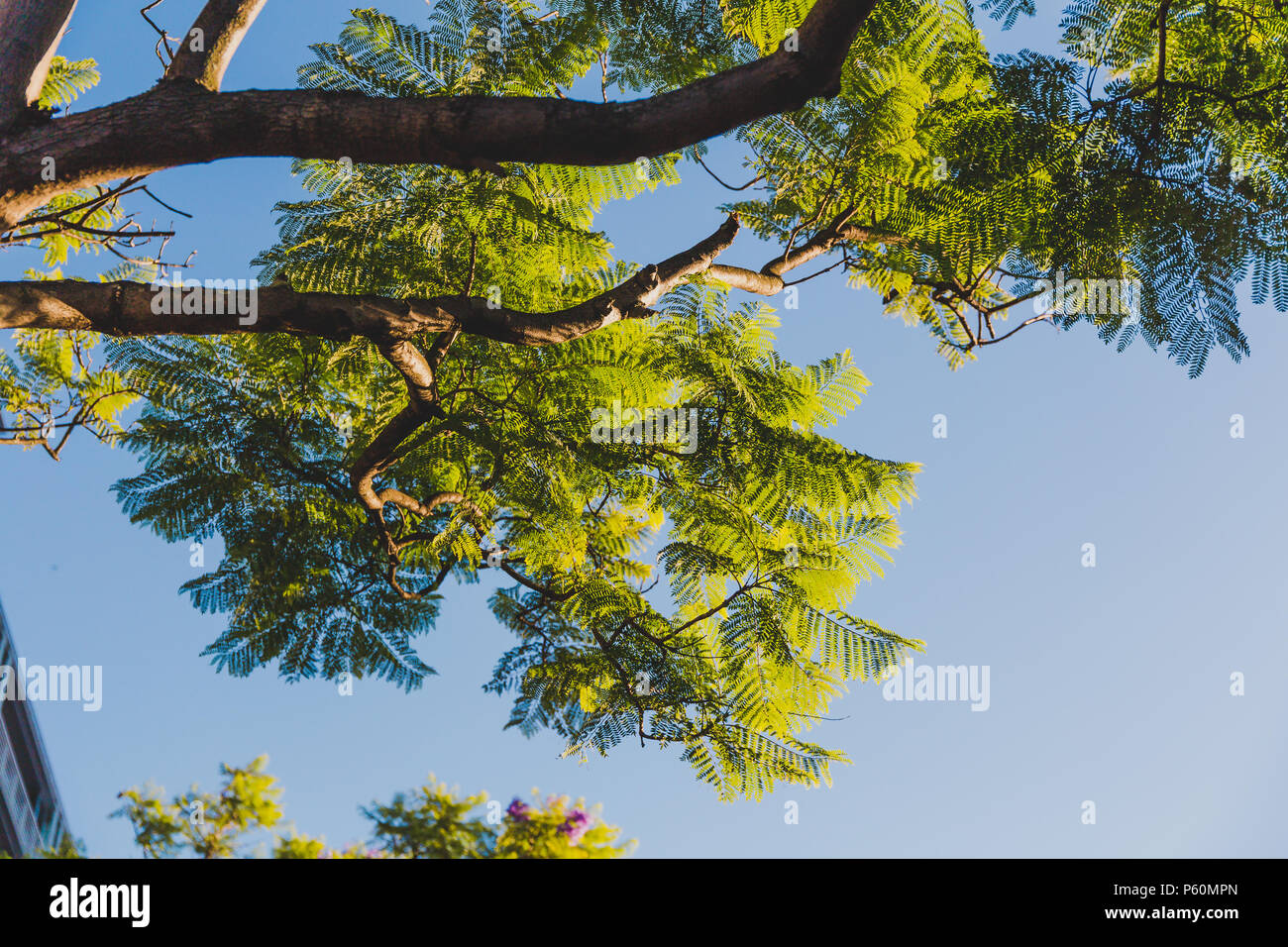 Jacaranda Tree Branches With Green Leaves Shot From Below And Blue Sky Stock Photo Alamy