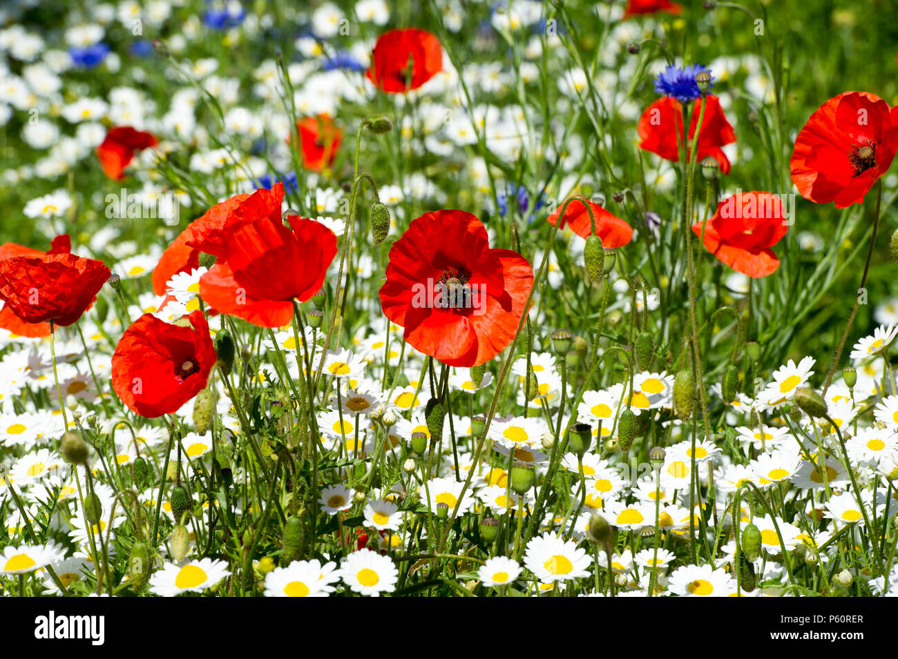 Common poppies / red poppy (Papaver rhoeas) and wild flowers  in Holyrood park, Edinburgh. - Stock Image