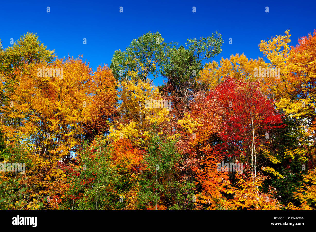 Flamboyant autumn colors in the Laurentians, province of Quebec, Canada. Multicolored trees against a deep blue sky. - Stock Image