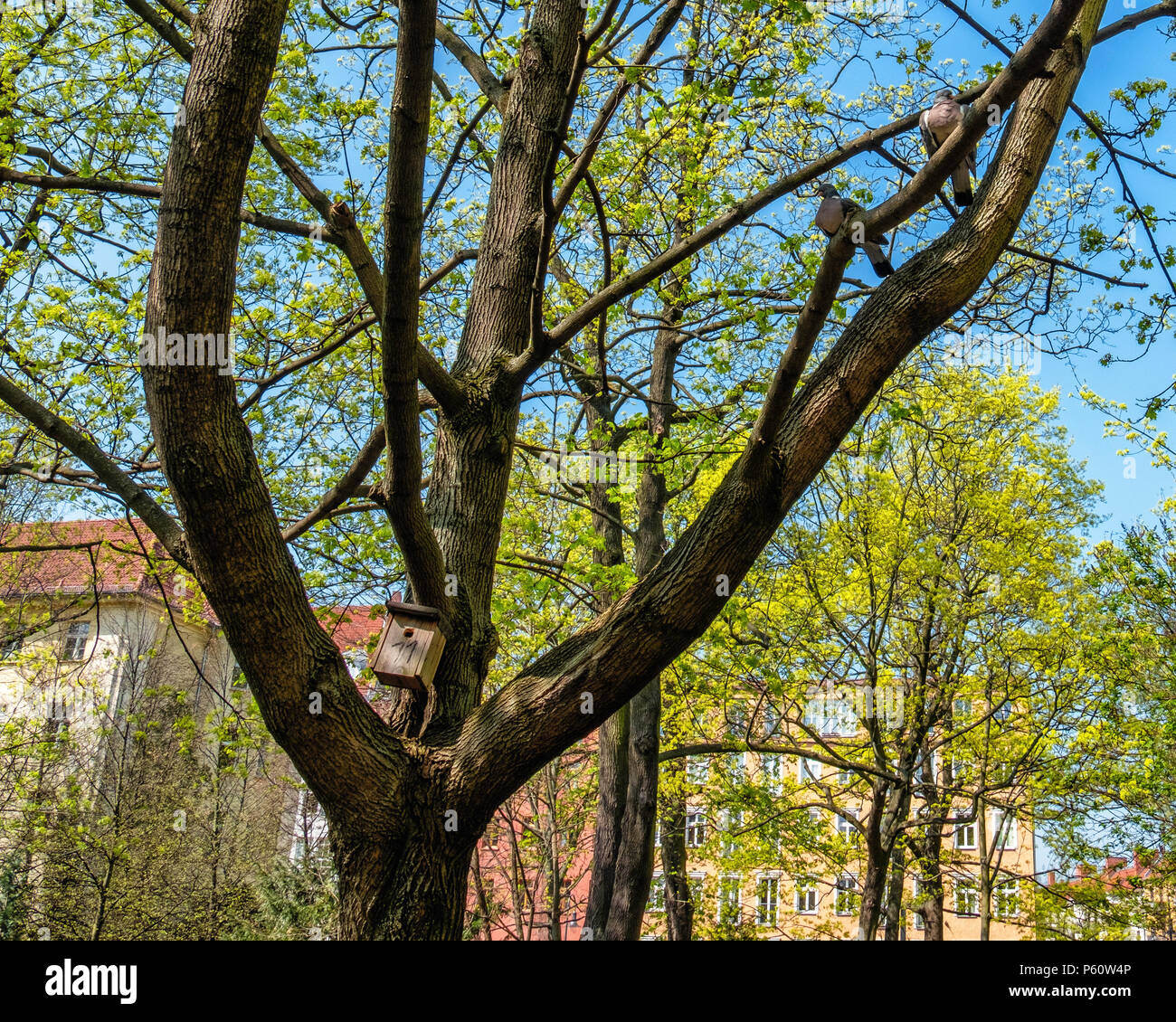Berlin Prenzlauer Berg, Freidhof Pappelallee, Cemetery Park is a listed closed cemetery.two pigeons & bird nesting box in tree in old grave yard - Stock Image