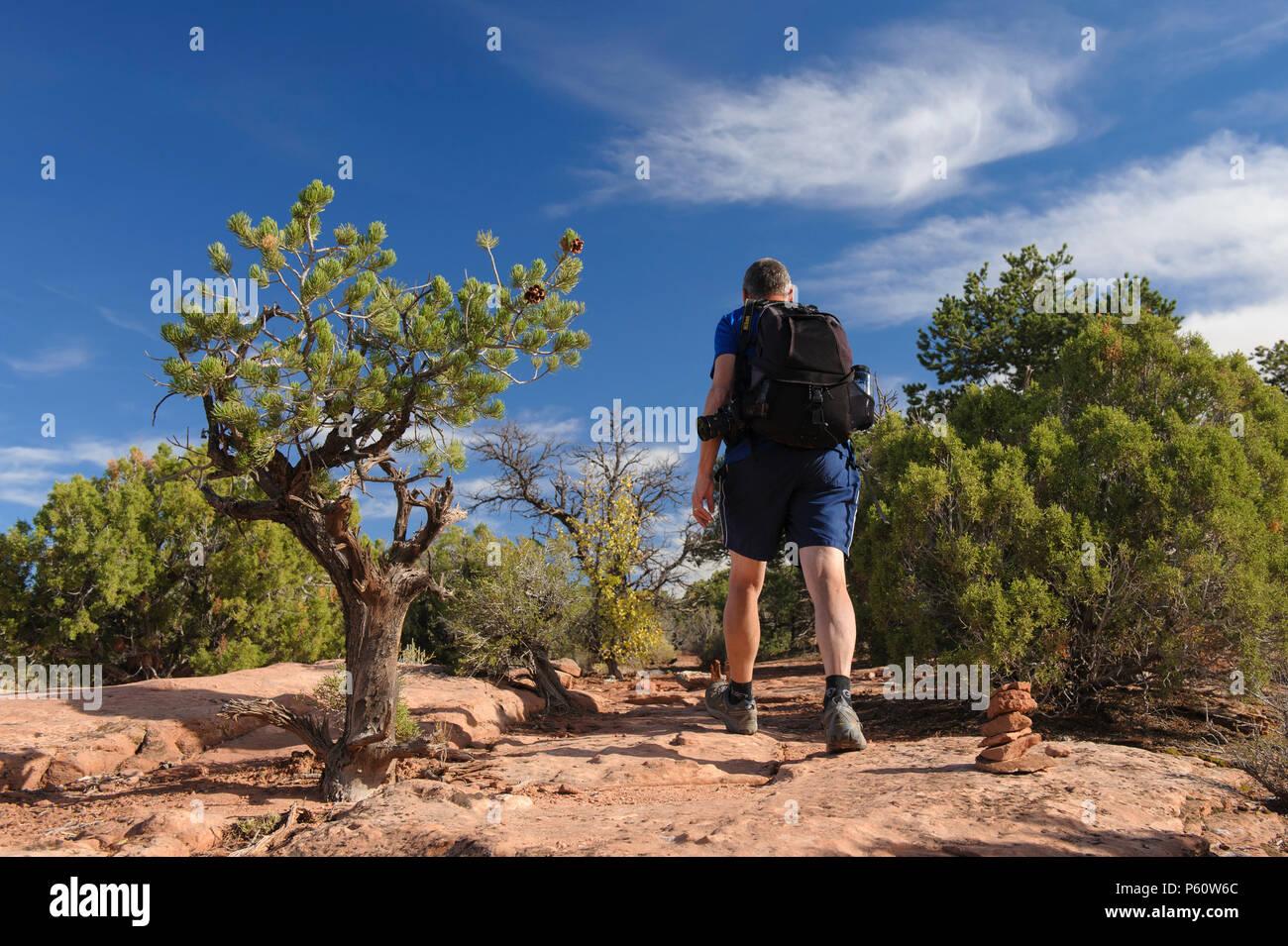 Hiker walking amongst juniper trees, Dead Horse Point State Park, Utah, USA. - Stock Image