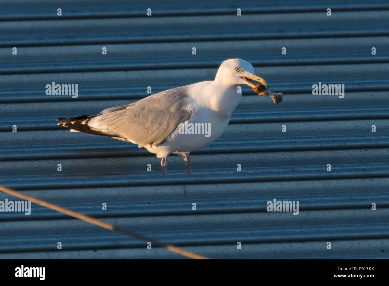 Wembley Park, London, UK. 27th Jun, 2018. A Seagull enjoys a sunset feast on the remains of a fried chicken leg on the roof of an Asda Supermarket, Wembley Park, London, UK. Credit: amanda rose/Alamy Live News Credit: amanda rose/Alamy Live News - Stock Image