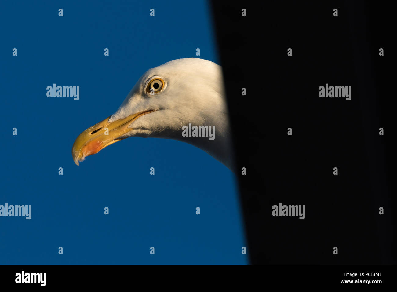 Wembley Park, London, UK. 27th Jun, 2018. Detail close up of Common Gull (Seagull) on residential roof Credit: amanda rose/Alamy Live News - Stock Image