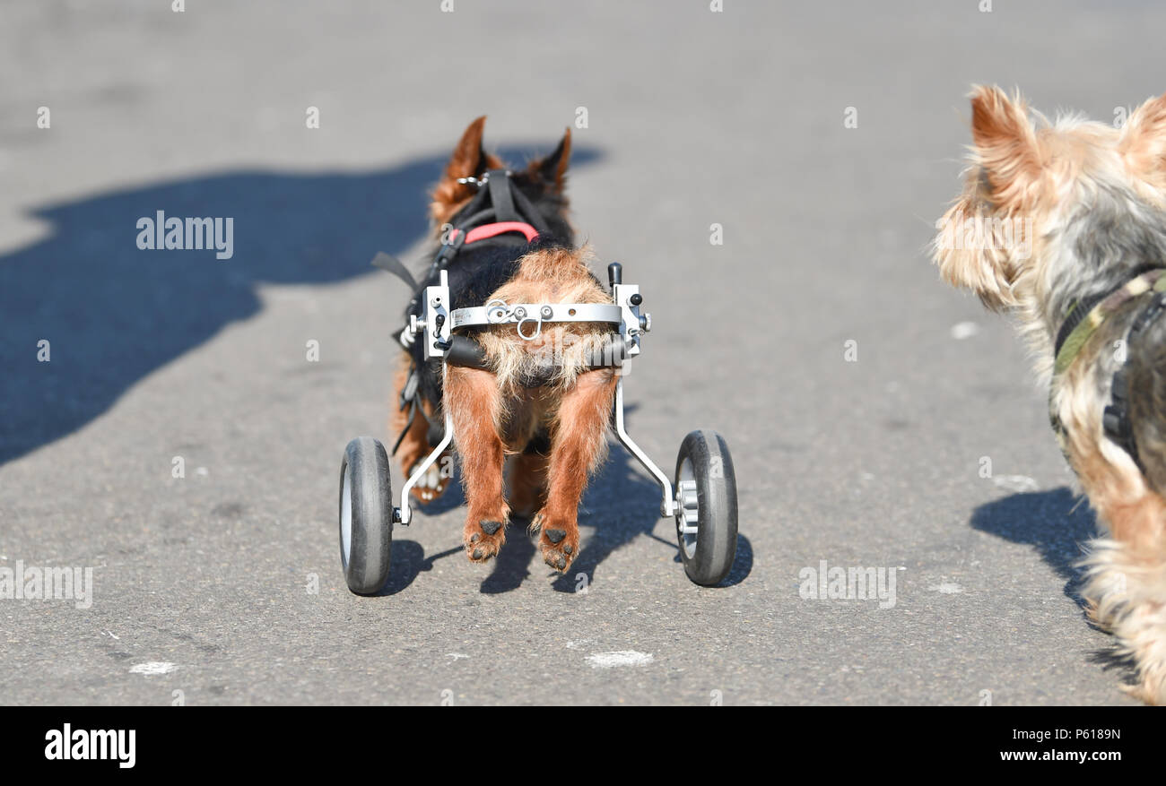 Brighton UK 28th June 2018 - UK Weather: Scrappy the 14 year old Yorkshire Terrier enjoys a stroll along Brighton seafront this sunny morning with some wheels to help his back legs while he is on holiday with his owners and pal Scruffy . The hot weather is forecast to continue throughout Britain for the next week with temperatures reaching over 30 degrees in some parts Credit: Simon Dack/Alamy Live News - Stock Image