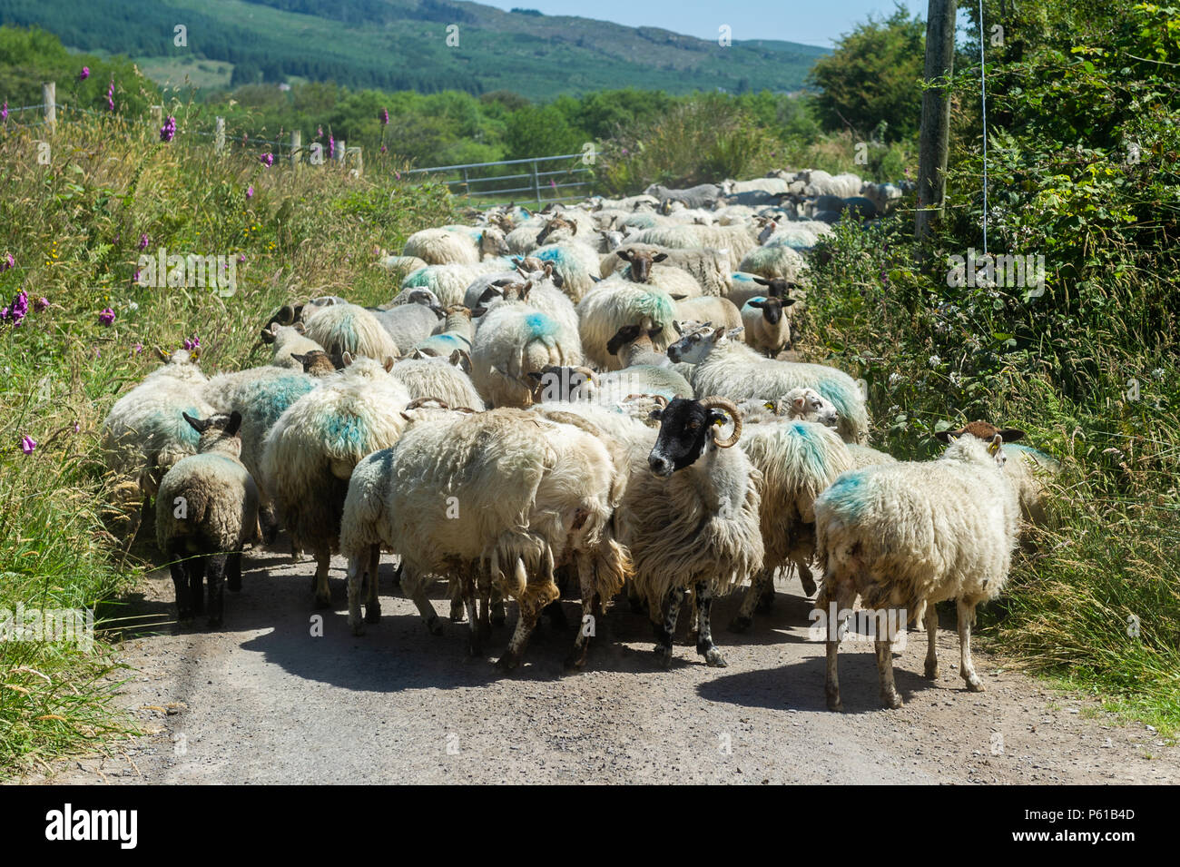 Ballydehob, Ireland. 28th June, 2018. On yet another blisteringly hot day in Ireland, a flock of sheep owned by the Ward family, wait to be moved for shearing in Lisheenacreagh, Ballydehob. Temperatures will stay in the high 20's today and tomorrow but rain is forecast over the weekend and into the early part of next week. Credit: Andy Gibson/Alamy Live News. - Stock Image