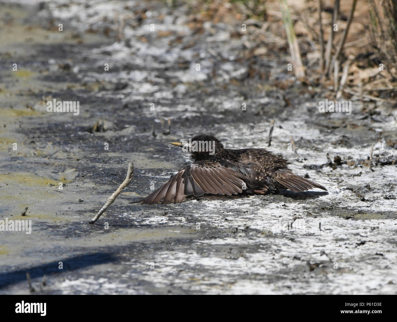 Starling lying on the ground to relieve heat - Stock Image