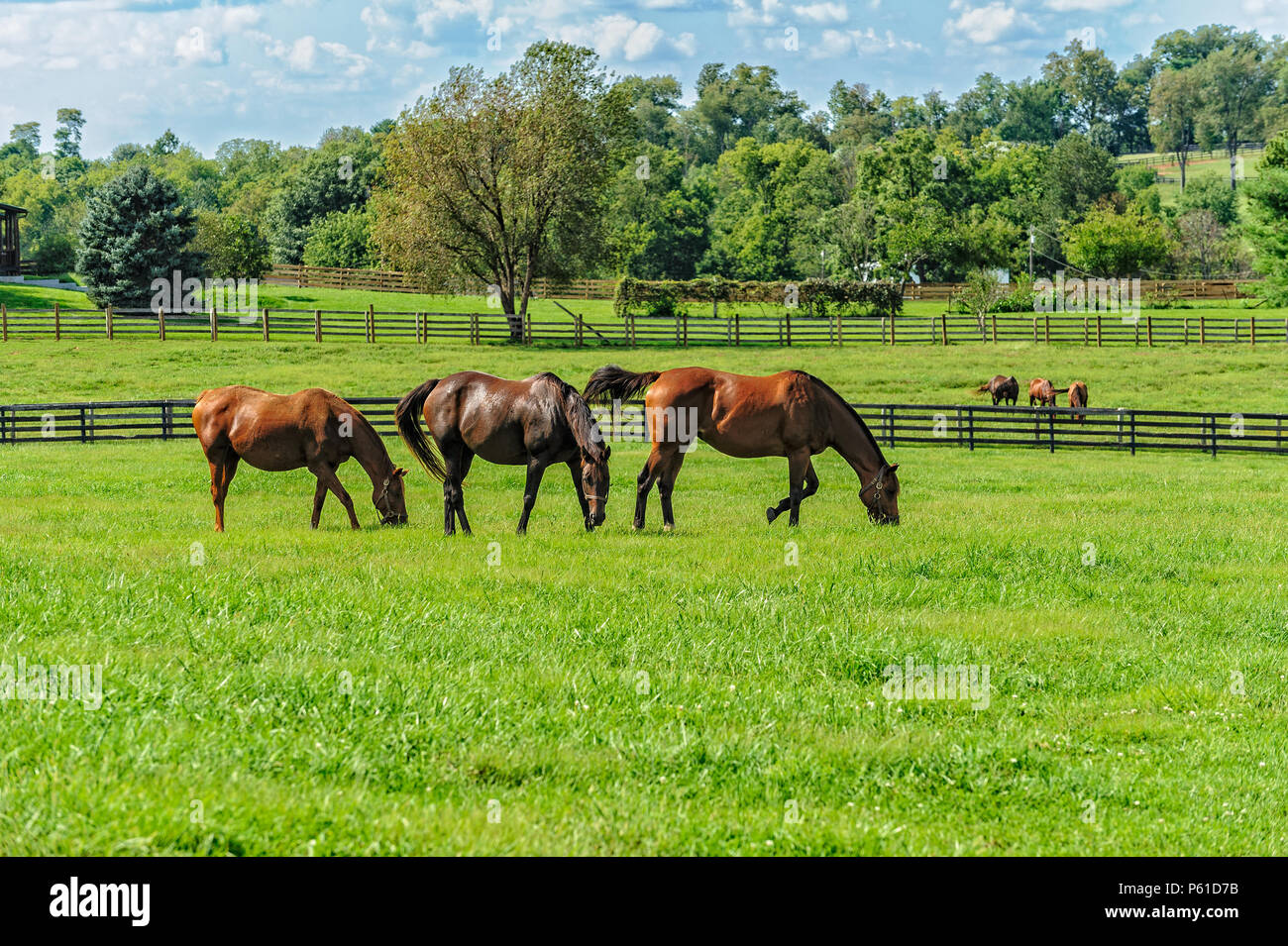 Thoroughbred Horses on a farm in Kentucky - Stock Image