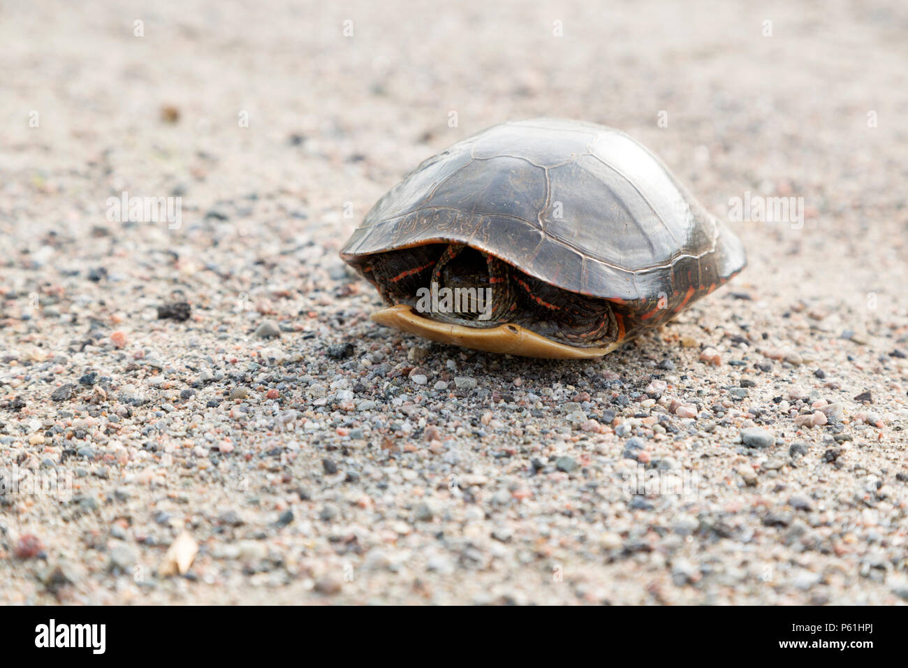 A painted turtle (Chrysemys picta) on a road in Ontario, Canada. The turtle has withdrawn into its shell. - Stock Image