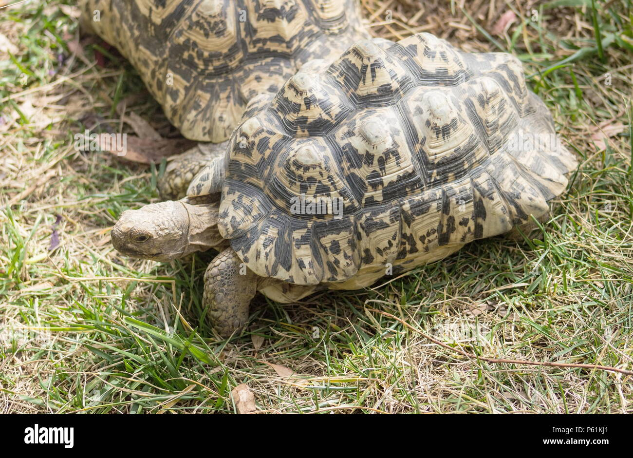The leopard tortoise (Stigmochelys pardalis) is a large and attractively marked tortoise found in the savannas of eastern and southern Africa, from Su - Stock Image