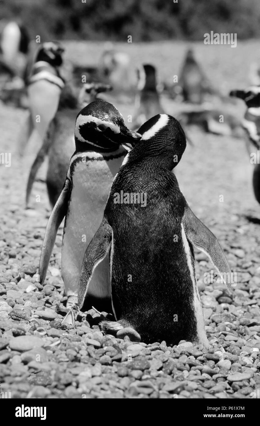 BREEDING PAIR of MEGELLANIC PENGUINS (Spheniscus magallanicus) grooming, PUNTA TOMBO COLONY - ARGENTINA Stock Photo