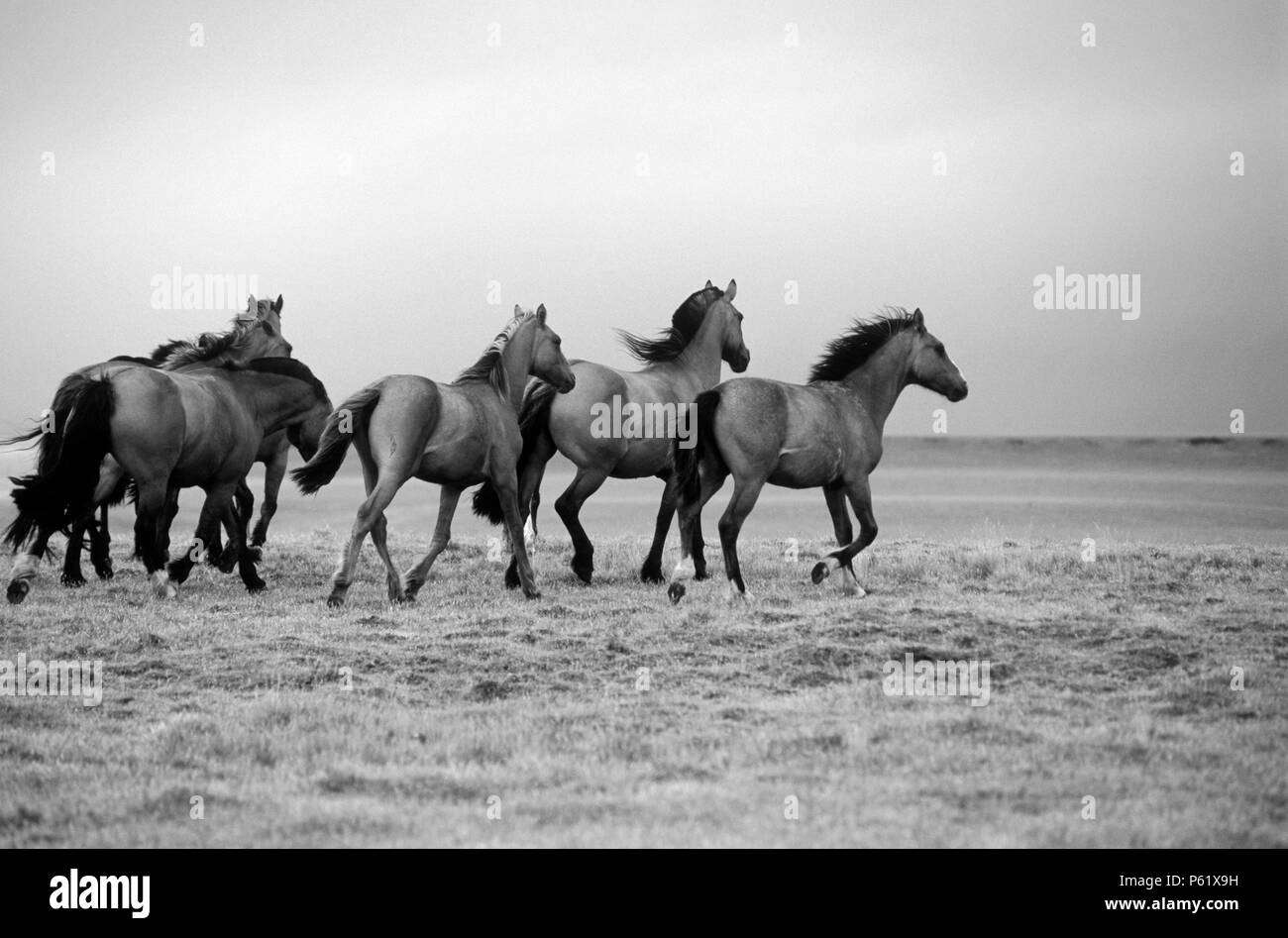 ARGENTINIAN HORSES run free on a estancia near Mt Fitz Roy and the GLACIARES NATIONAL PARK - PATAGONIA, ARGENTINA - Stock Image