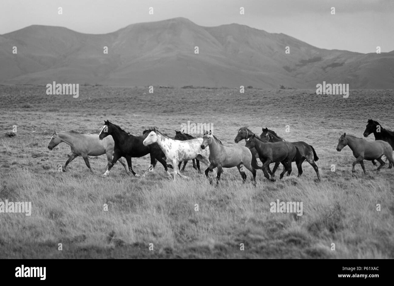 ARGENTINIAN HORSES run free on a estancia near ANDES MOUNTAINS and the GLACIARES NATIONAL PARK - PATAGONIA, ARGENTINA - Stock Image