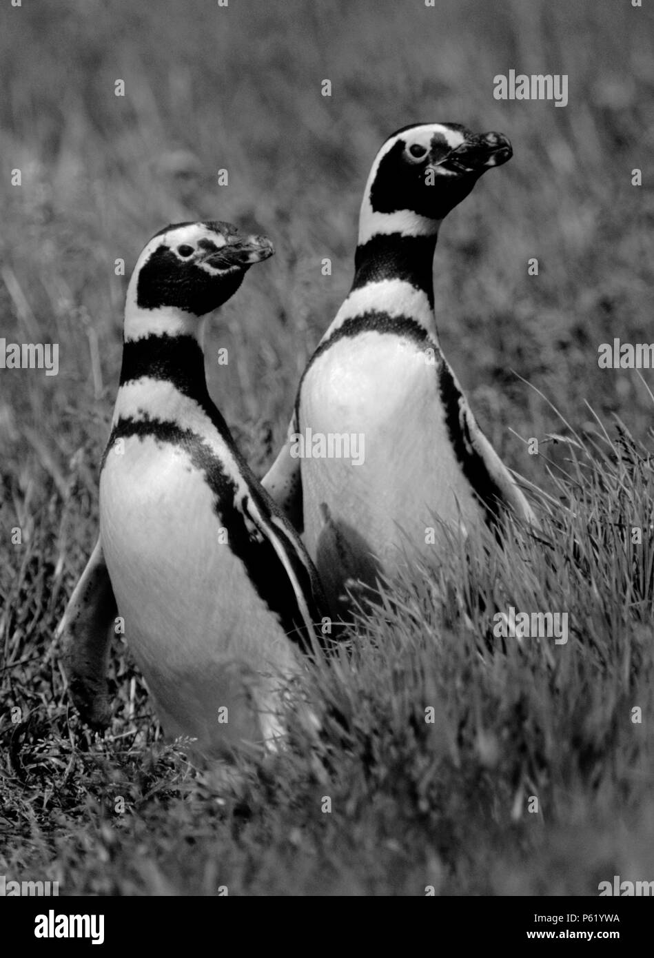 MEGALLANIC PENGUINS mate for life like this couple in the SENO OTWAY COLONY with 50,000 breeding pairs - PATAGONIA CHILE - Stock Image
