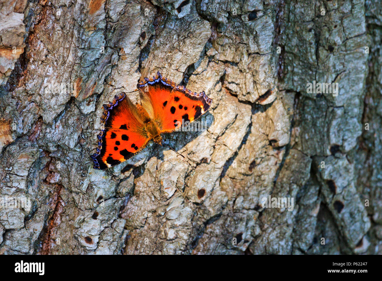 color butterfly sits on the bark of trees dry - Stock Image
