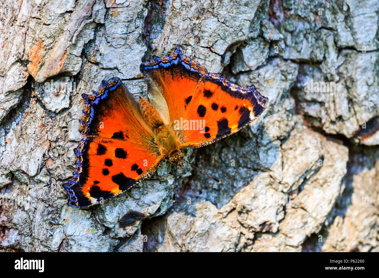 butterfly colored and fragile sitting on a rough, dry texture - Stock Image