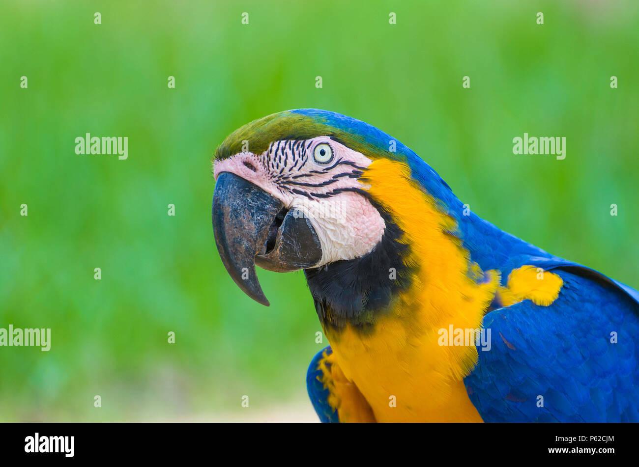 Beautiful Blue-and-yellow Macaw (Ara ararauna) in the Brazilian wetland. - Stock Image