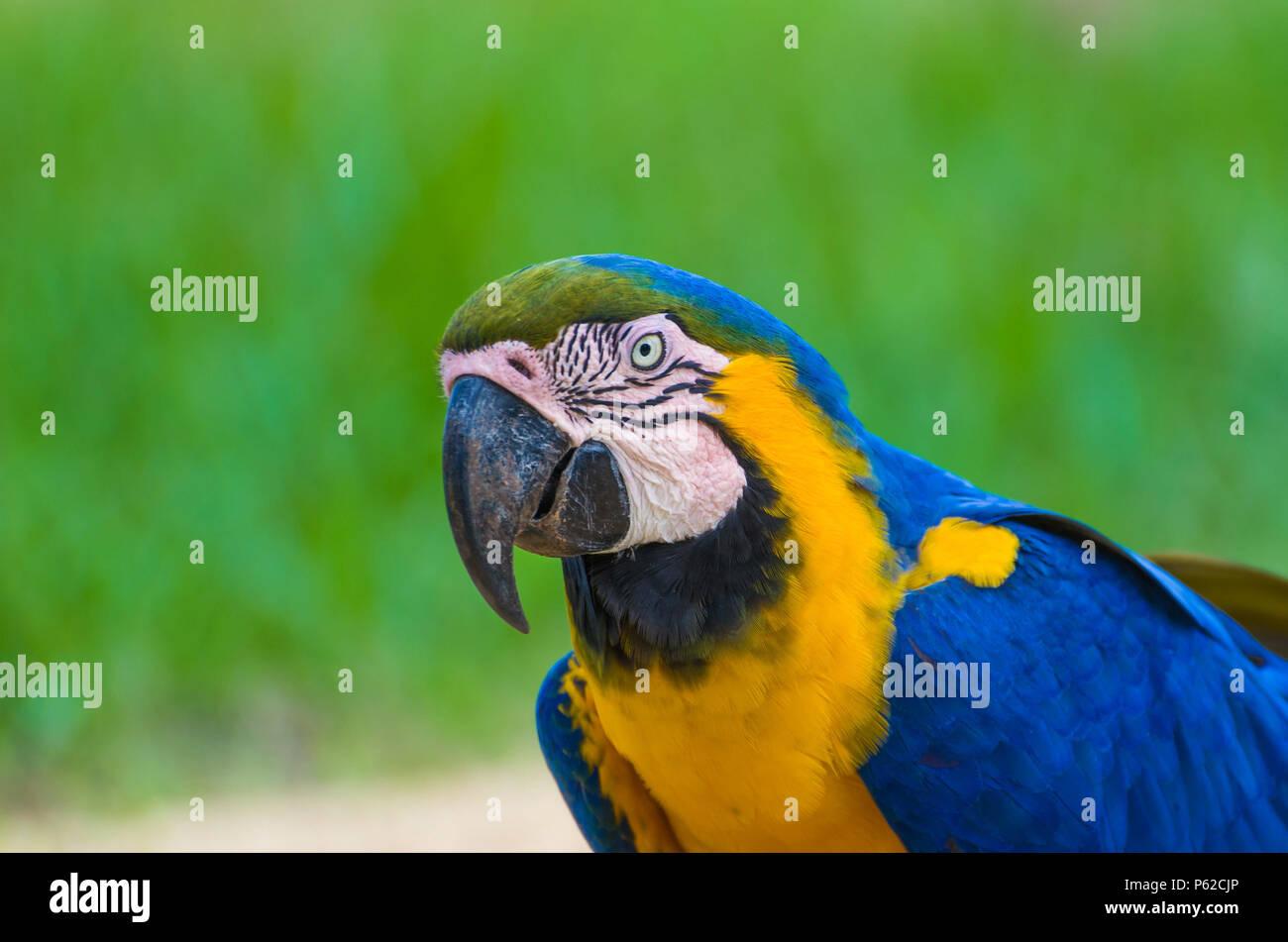 Beautiful Blue-and-yellow Macaw (Ara ararauna) in the Brazilian wetland. Stock Photo