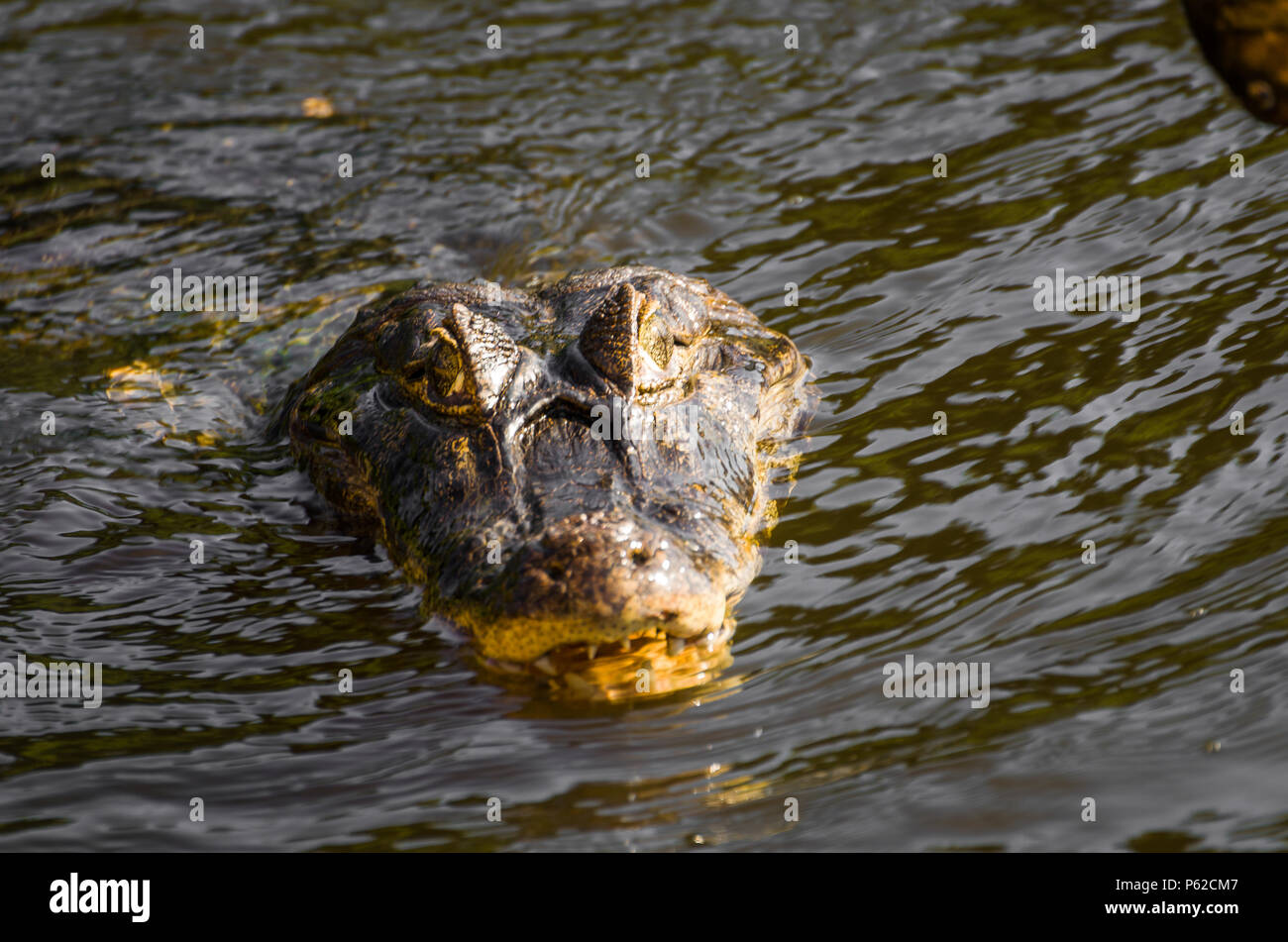 Beautiful Jacare (Caiman yacare) in the Brazilian wetland. - Stock Image