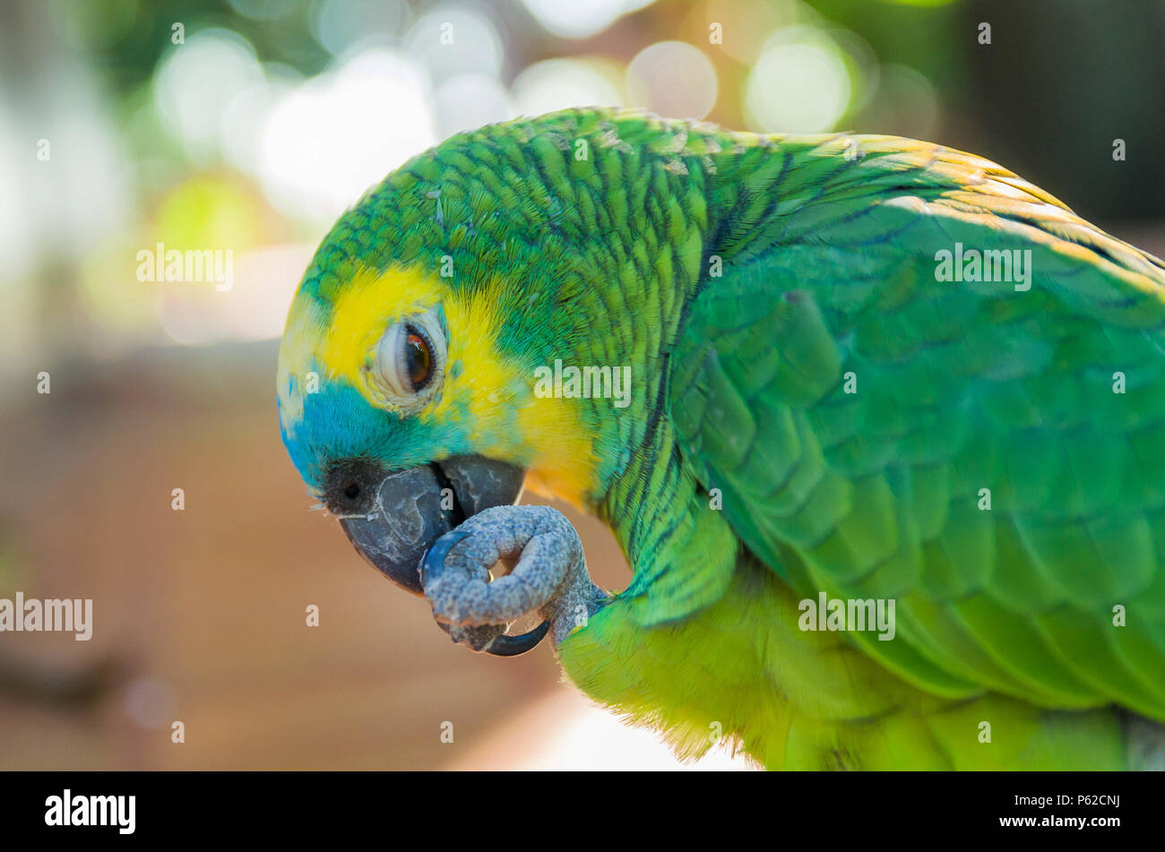 Beautiful True Parrot or Turquoise-fronted Parrot (Amazona aestiva), in the Brazilian wetland. - Stock Image