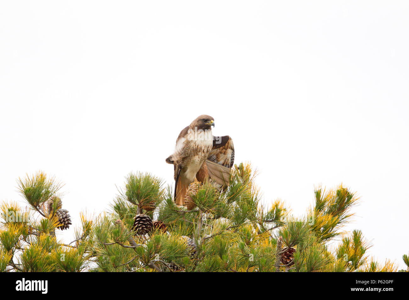 Red tailed Hawk perched on top of Pine Tree - Stock Image