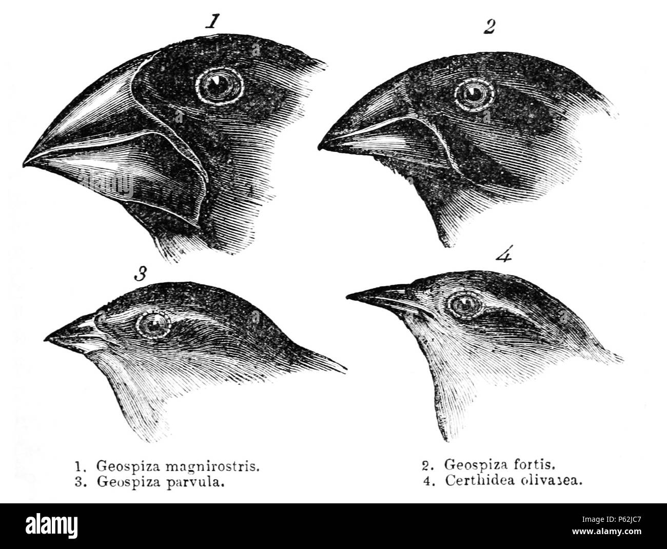 N/A. Darwin's finches or Galapagos finches. Darwin, 1845. Journal of researches into the natural history and geology of the countries visited during the voyage of H.M.S. Beagle round the world, under the Command of Capt. Fitz Roy, R.N. 2d edition. 1. (category) Geospiza magnirostris 2. (category) Geospiza fortis 3. Geospiza parvula, now (category) Camarhynchus parvulus 4. (category) Certhidea olivacea . before 1882. John Gould (14.Sep.1804 - 3.Feb.1881) 413 Darwin's finches by Gould - Stock Image