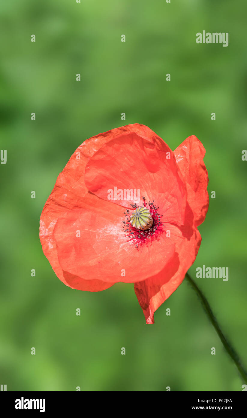 Single red common poppy flower papaver rhoeas flowering in summer single red common poppy flower papaver rhoeas flowering in summer in west sussex england uk portrait with copy space red poppy with copyspace mightylinksfo