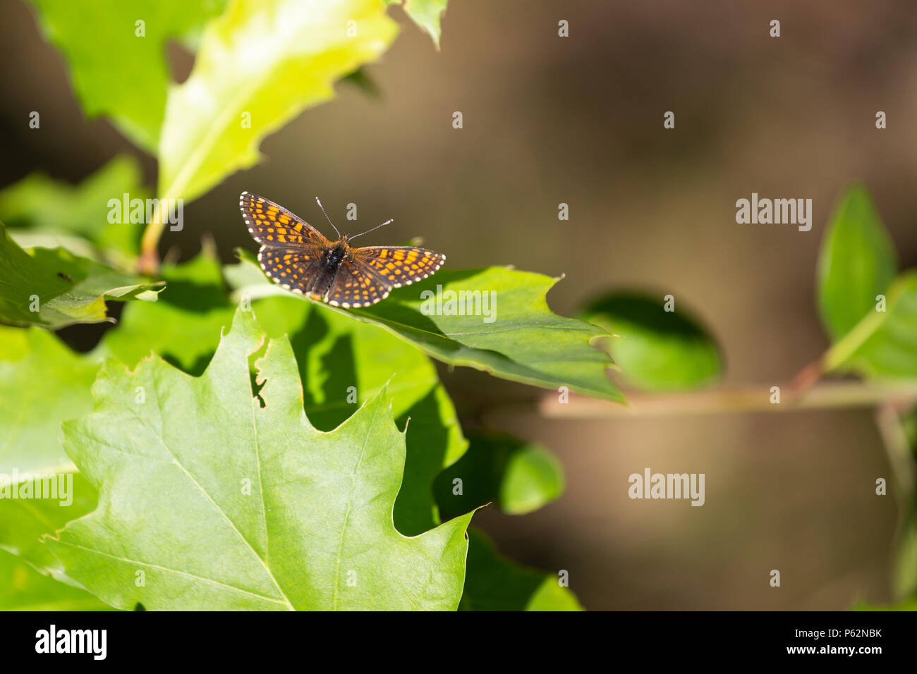 Silver-washed Fritillary Argynnis paphia , male. Orange dotted butterfly - Stock Image