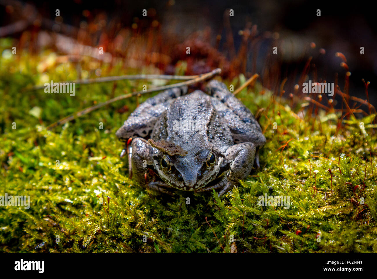 European Common Frog. Frog. Common Frog Rana temporaria . Forest brown frog macro selective focus - Stock Image