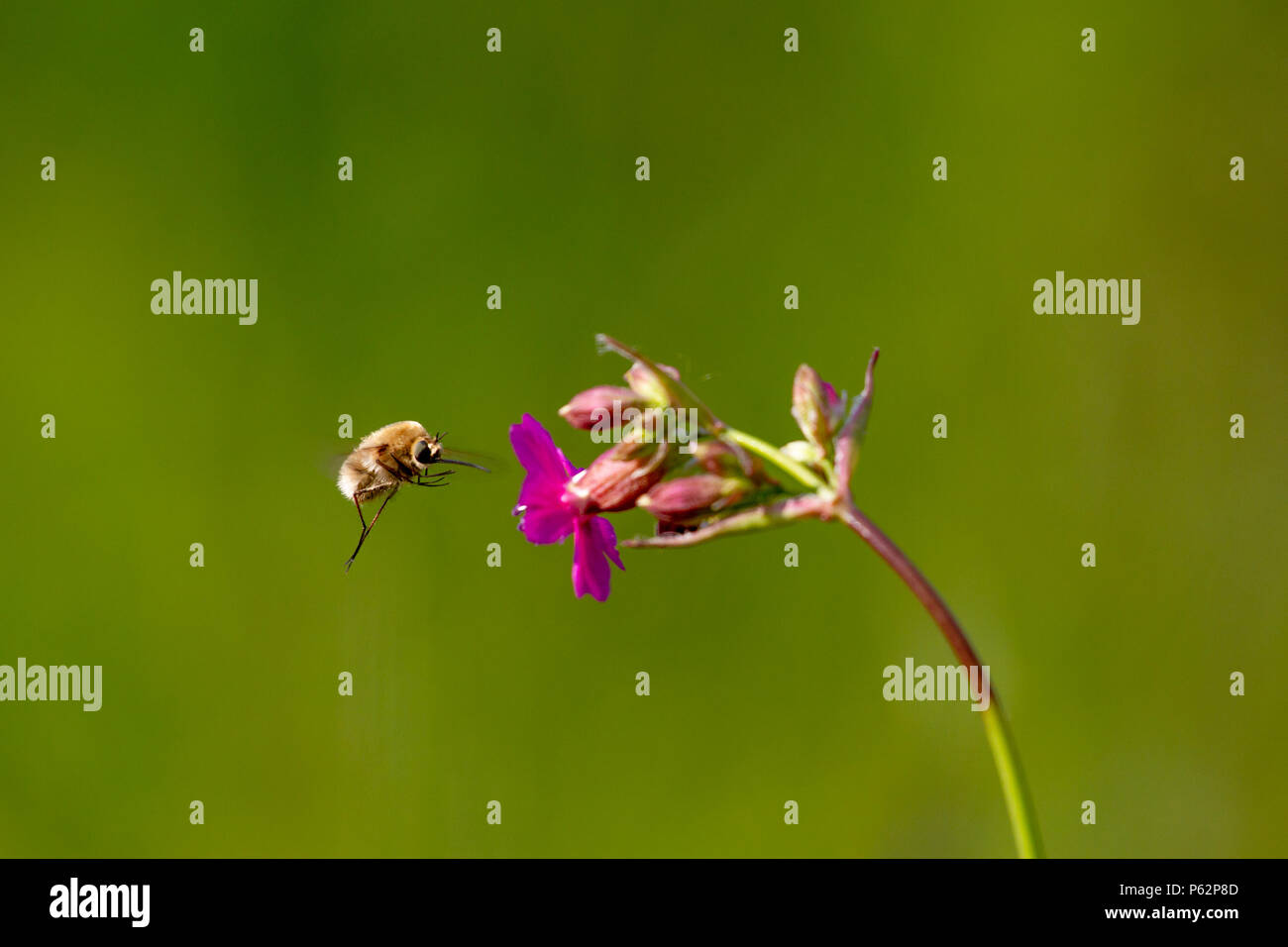 Bee - bombylius major on green background. Pollinate flower. Bee with long proboscis flies on flower - Stock Image