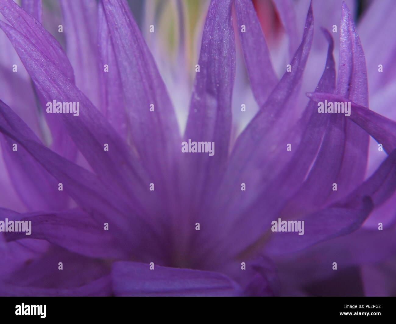 Close Up Of Petals Of Cornflower Bud Purple Flower Petals Macro