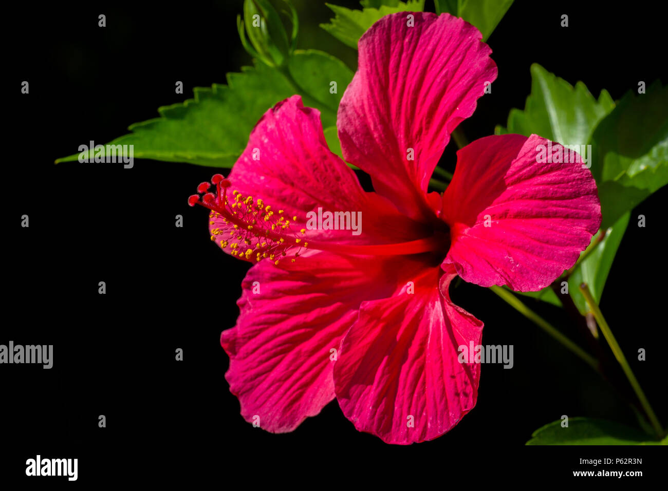 Tropical red hibiscus flower with leaves on black background stock tropical red hibiscus flower with leaves on black background izmirmasajfo