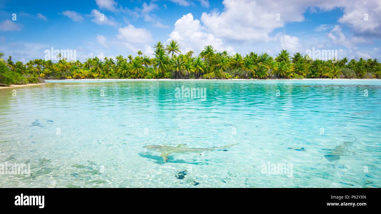 Sharks along the shore in Fakarava, French Polynesia - Stock Image