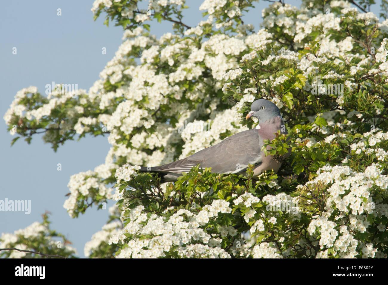 Wood Pigeon, Columba palumbus, in Hawthorn tree, Crataegus monogyna, in blossom, May Tree, May blossom, Norfolk, UK. May - Stock Image