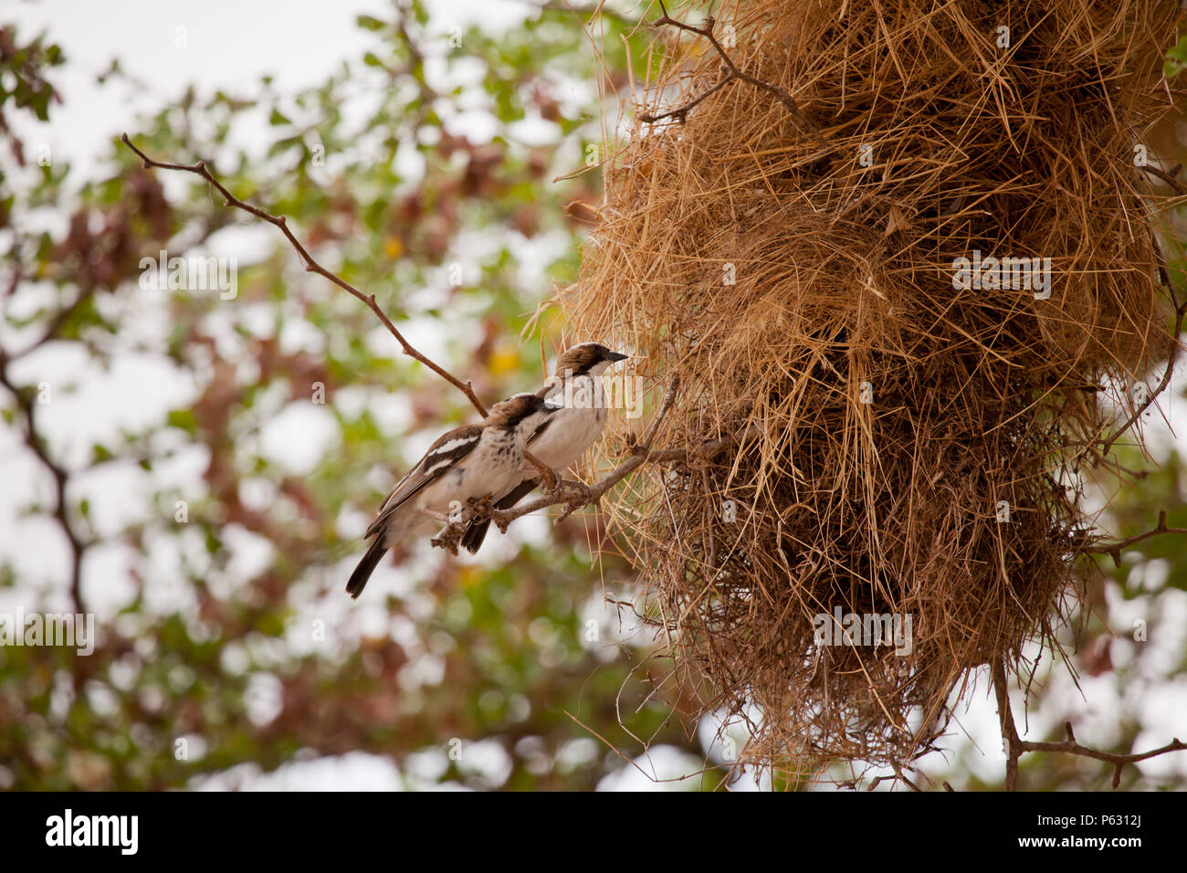 A pair of white browed sparrow weavers outside a nest, Selous Game Reserve, Tanzania - Stock Image