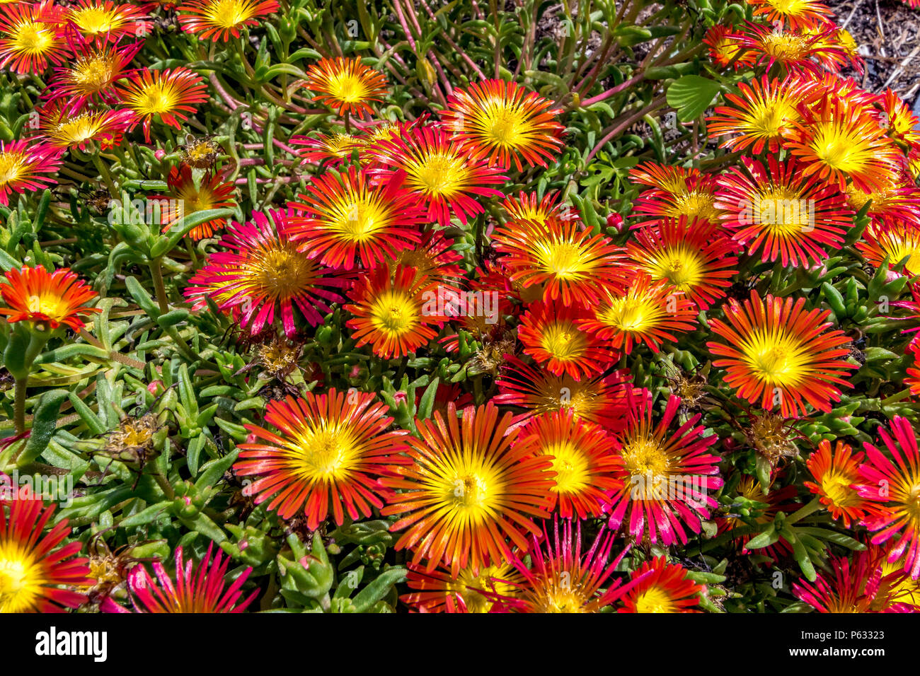 Red and yellow flowers of Delosperma Cooperi  , Fire Wonder or Wheels of Wonder - Stock Image