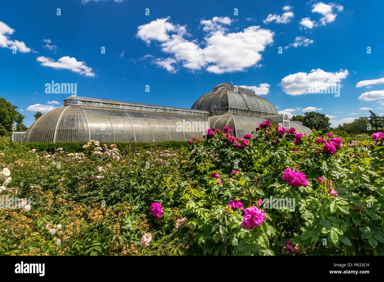 Fuchsia Pink roses ,Rosa Hansa in The Rose garden at Kew  with The Palm House in the background , The Royal Botanic Gardens, Kew - Stock Image