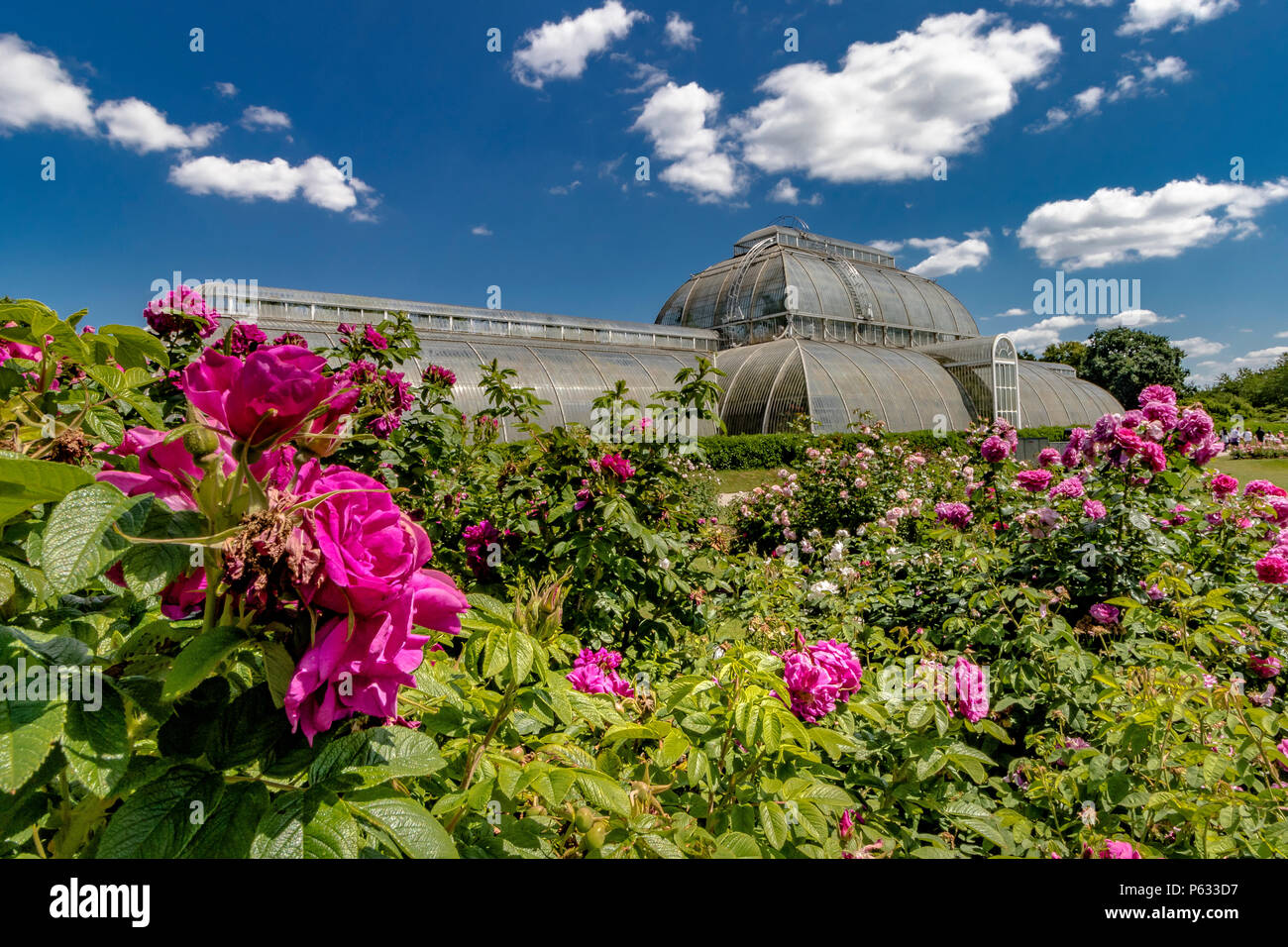 Fuchsia Pink roses ,Rosa Hansa in The Rose garden at Kew  with The Palm House in the background , The Royal Botanic Gardens, Kew Stock Photo