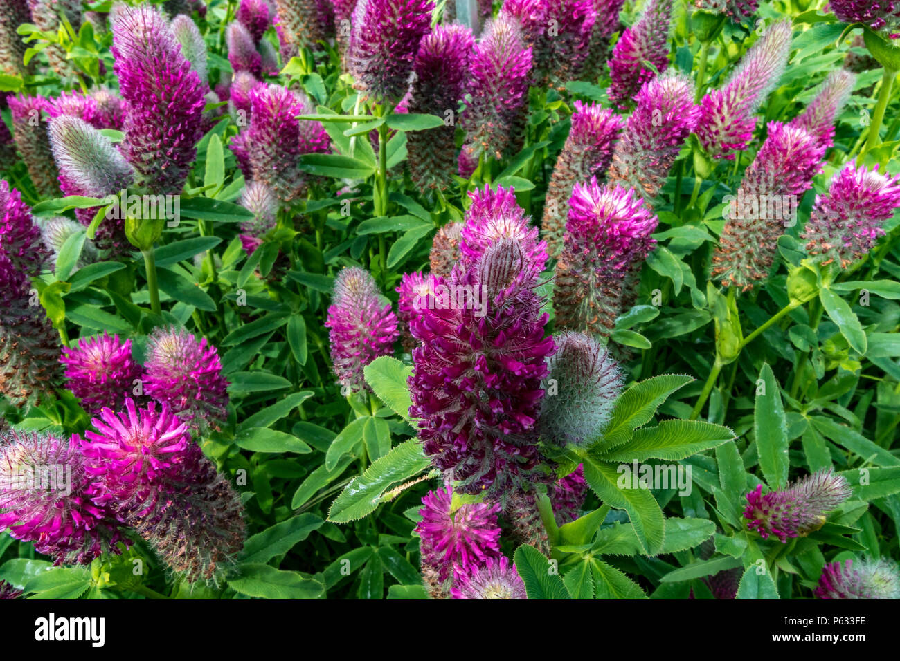 Red feathered clover , Trifolium rubens  a beautiful ornamental clover that attracts butterflies and bees with soft brush like mauve flowers - Stock Image