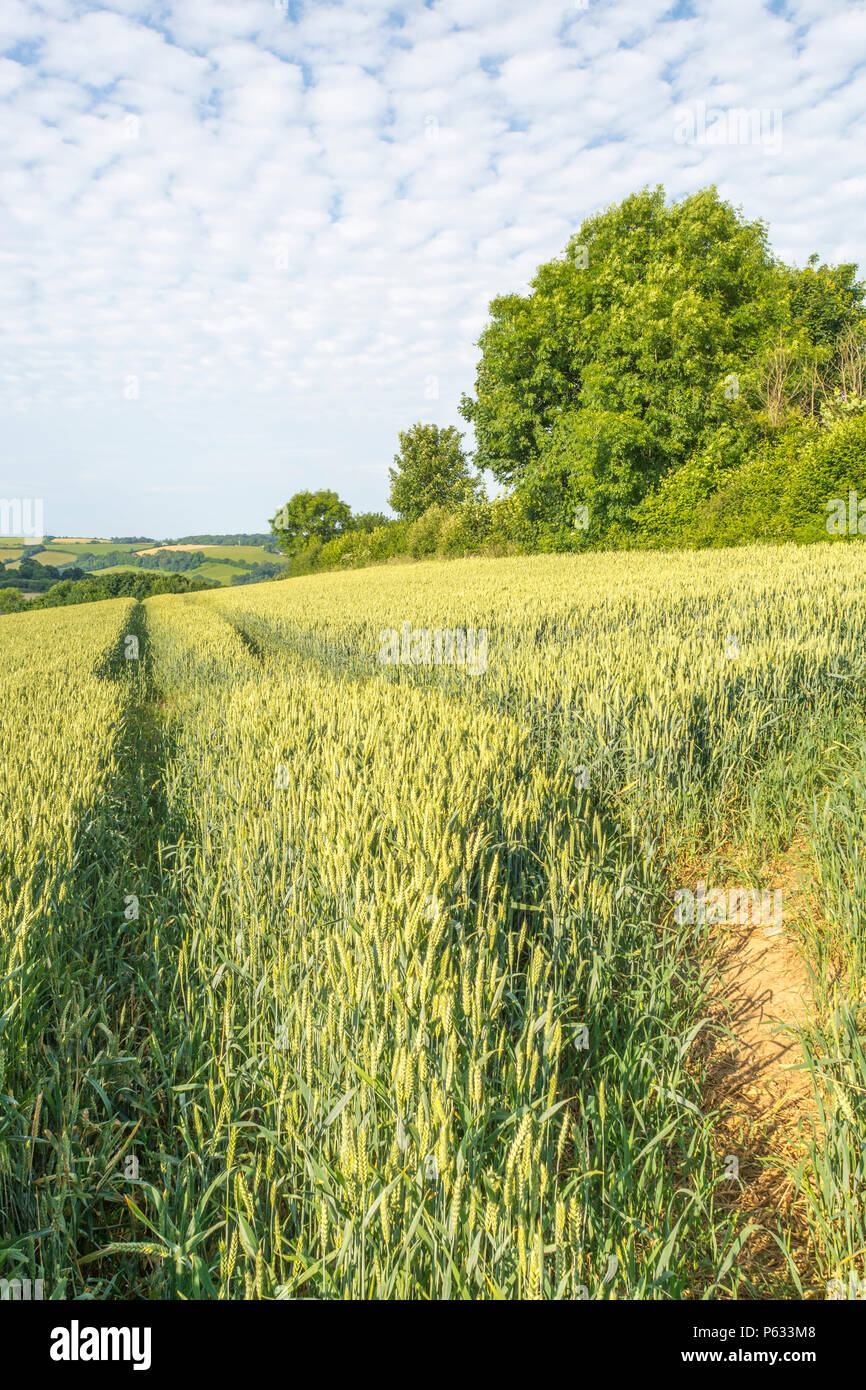 Green ripening wheat (Triticum) crop in a field with summer sky behind. - Stock Image